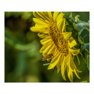The Sunflower and the Honeybee Poster