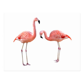"The superior product ""of flamingo"" postcard"