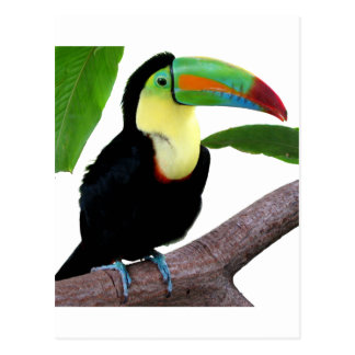 "The superior product ""of Keel-billed Toucan"" Postcard"