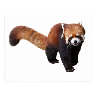 "The superior product ""of Red Panda"" Postcard"