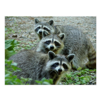 The Three Raccoon Poster