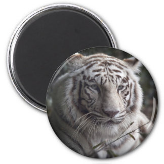 The Tiger's  Watchful Eye Fridge Magnets