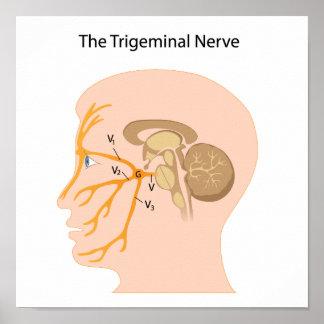 The trigeminal nerve Poster