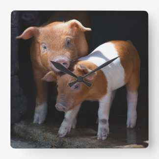 The Two Baby Pigs Square Wall Clock