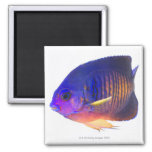 The two-spined angelfish 2 inch square magnet
