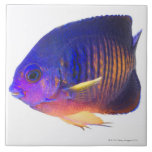 The two-spined angelfish large square tile