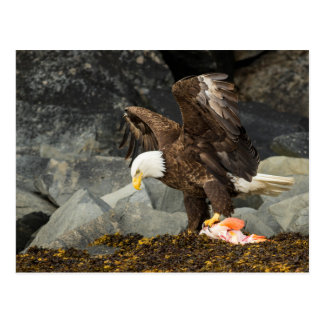 The Ultimate Bald Eagle Postcard