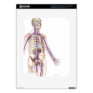 The Urinary System 2 iPad 3 Skins