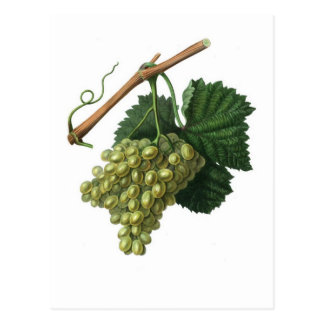 The Verdelho grape Postcard