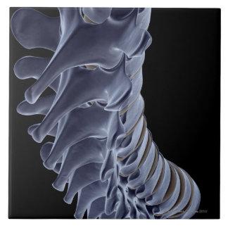 The Vertebral Column Ceramic Tile