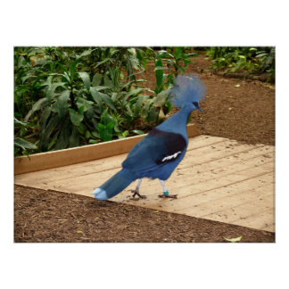 The Victoria Crowned Pigeon Poster