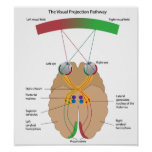 The visual projection pathway Poster