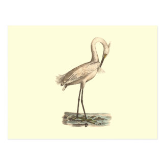 The White-crested Heron(Ardea candidissima) Postcard