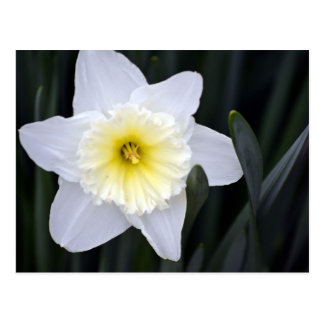 The White Daffodil Postcard