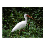 The White Ibis... Post Cards