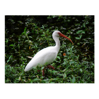 The White Ibis... Postcard