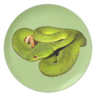 The white-lipped pit viper dinner plate
