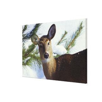 The White-tailed deer (Odocoileus virginianus), Canvas Print