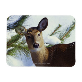 The White-tailed deer (Odocoileus virginianus), Magnet