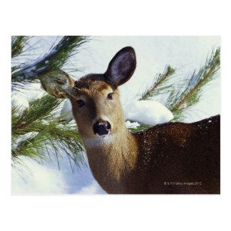 The White-tailed deer (Odocoileus virginianus), Postcard
