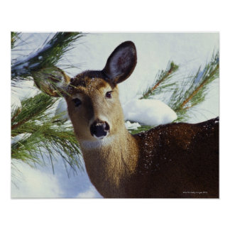 The White-tailed deer (Odocoileus virginianus), Poster