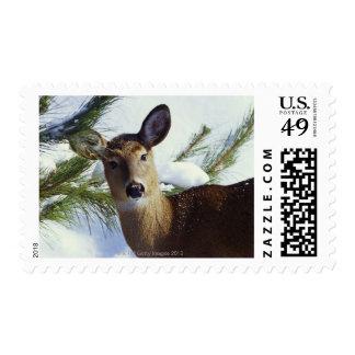 The White-tailed deer (Odocoileus virginianus), Stamp