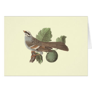 The White-throated Sparrow: Fringilla pensylvanica Greeting Card