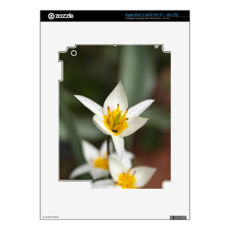 The wild tulip Tulipa turkestanica Decal For iPad 3