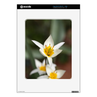 The wild tulip Tulipa turkestanica Decals For The iPad
