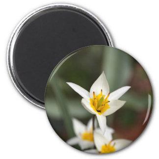 The wild tulip Tulipa turkestanica Magnet