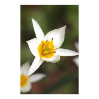 The wild tulip Tulipa turkestanica Stationery