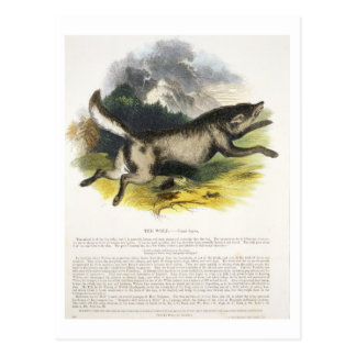 The Wolf (Canis lupus) educational illustration pu Postcard