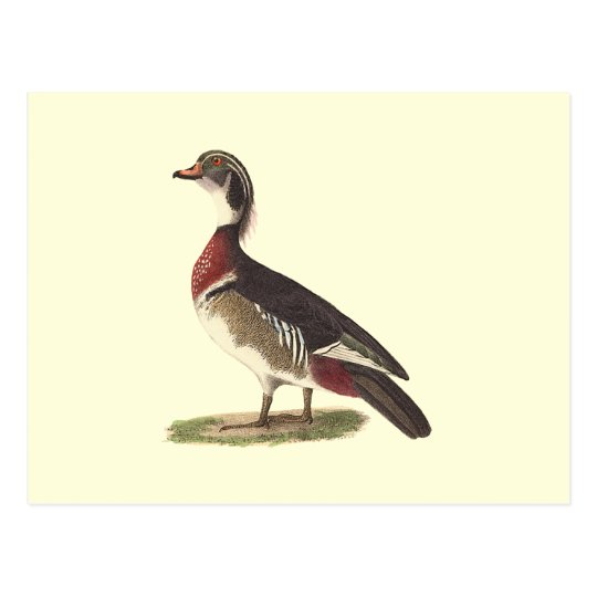 The Wood Duck(Anas sponsa) Postcard
