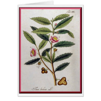 Thea Bohea (Tea Tree), Oskamp's 1796Herbal Card