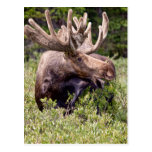There's A Moose Loose Postcard