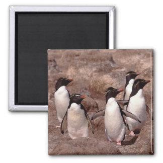 These five Rockhopper Penguins (Eudyptes 2 Inch Square Magnet