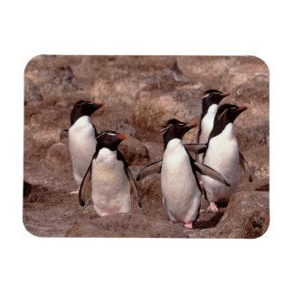 These five Rockhopper Penguins (Eudyptes Rectangular Photo Magnet