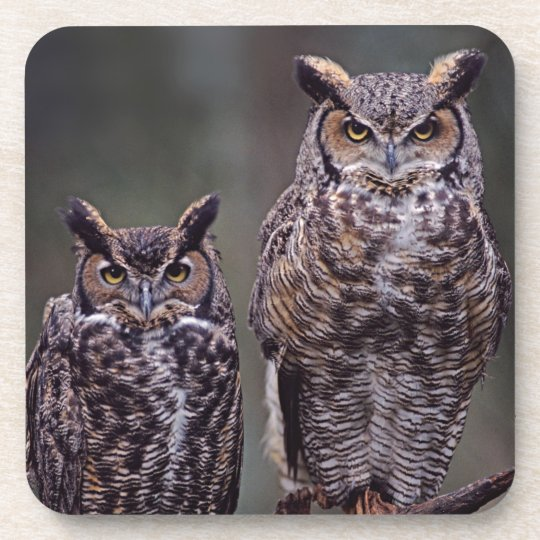These Great Horned Owls (Bubo virginianus), Beverage Coaster