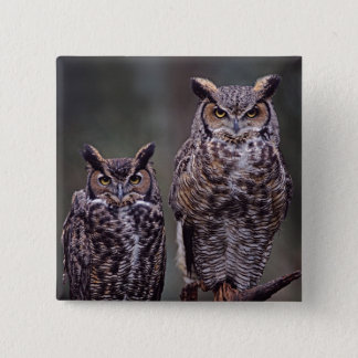 These Great Horned Owls (Bubo virginianus), Button