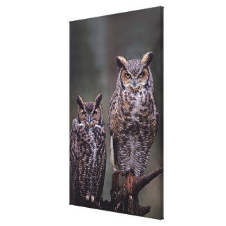 These Great Horned Owls (Bubo virginianus), Canvas Print