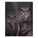 These Great Horned Owls (Bubo virginianus), Poster