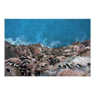 Thick-billed Murre Colony, Hudson Bay, NWT, Canada Posters