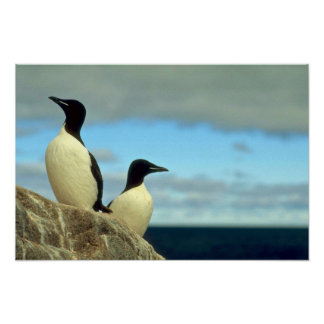 Thick-billed Murres, Hudson Bay, NWT, Canada Print