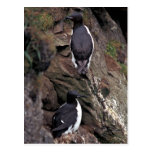 Thick-billed Murres on Hall Island Postcard