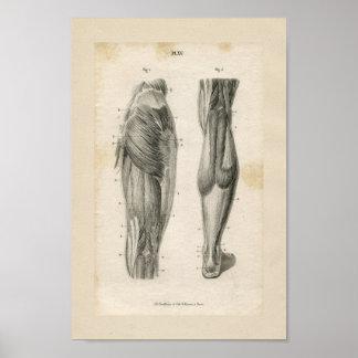 Thigh Leg Muscles Vintage Anatomy Print