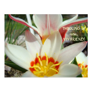 THINKING OF YOU, MY FRIEND! Post Card Tulip Flower