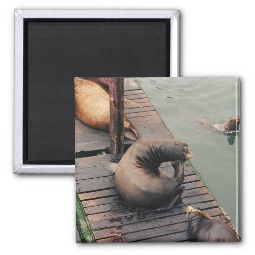 Thinking Sea Lion Magnet