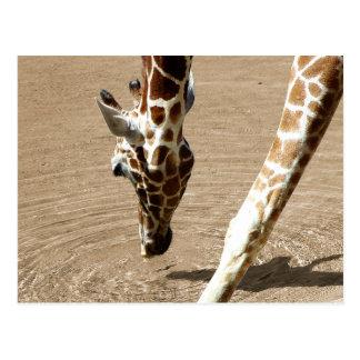 Thirsty Giraffe Postcard
