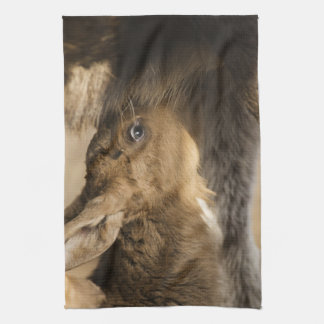 Thirsty Moose Calf Kitchen Towel
