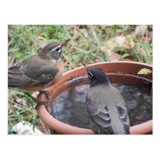 thirsty Robins Postcard